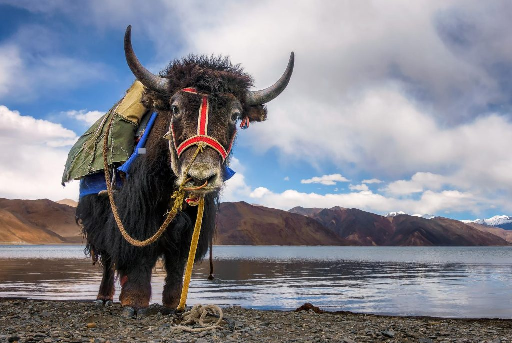 Yaks Pangong Lake Ladakh India